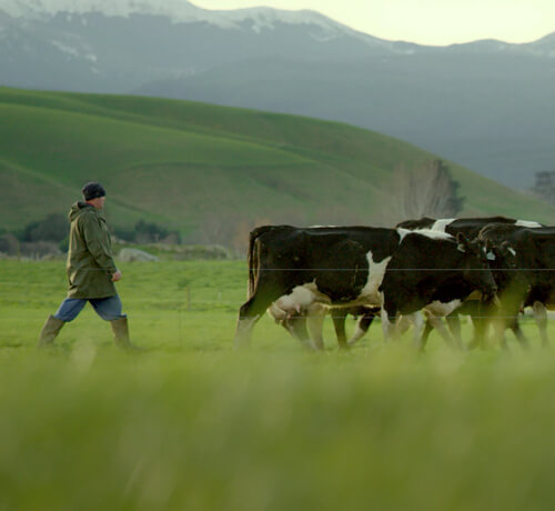 Cows and farmer in a field in New Zealand